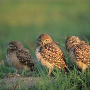 Burrowing Owl (Athene cunicularia) juveniles outside a burrow. Florida
