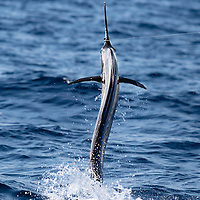 Atlantic Sailfish shows its narrow profile as it is jumping away from the boat offshore Lobito, Angola.