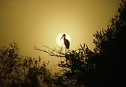 Wood Stork, Mycteria americana, silhouetted by a foggy sunrise, Shark River Slough, Everglades National Park, Florida.