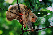 Spotted cuscus, an arboreal marsupial native to Papua and Maluku.