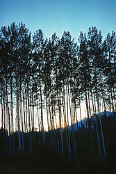 View Of Birch Trees