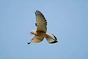 Lesser kestrel (falco naumanni) male flying in blue sky. This species breeds from the Mediterranean across southern central Asia to China and Mongolia. It is a summer migrant, wintering in Africa, Photographed in Israel