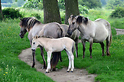 Nederland, Ooij, 4-6-2016Een kudde Konikpaarden in de Ooijpolder, Millingerwaard. De Konik leeft in kuddeverband. De wilde paarden zijn uitgezet in natuurgebieden door heel Nederland en doen het goed. Soms worden ze uitgezet in Oost-europa . Een hengst met zijn harem . Hier bij de bisonbaai hebben zij een vluchtplek bij hoog water . Zij kunnen mensen goed verdragen als ze met rust gelaten worden, met name als er veulens zijn zoals nu .Foto: Flip Franssen/Hollandse Hoogte
