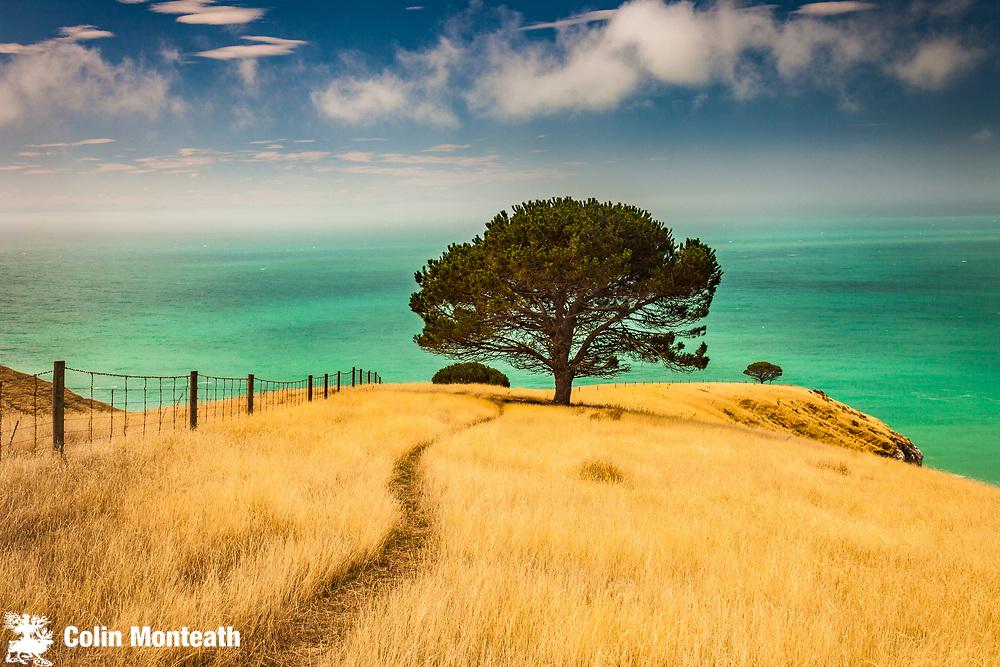 Lone pine, Decanter Bay, headland beyond Little Akaloa, Banks Peninsula, Canterbury