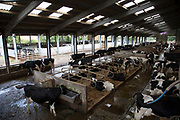 Overview of the main cow shed where the cows which are milking both pregnant and not pregnant spend their time. The stalls are filled with sand to make their time lying down as comfortable as possible. Wildon Grange Dairy Farm, Coxwold, North Yorkshire, UK. Owned and run by the Banks family, dairy farming here is a scientific business, where nothing is left to chance. From the breeding, nutrition and health of their closed stock of Holstein Friesian cows, through to the end product, the team here work tirelessly, around to clock to ensure content and healthy animals, and excellent quality milk. (photo by Mike Kemp/In Pictures via Getty Images)