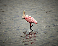Roseate Spoonbill. Black Point Wildlife Drive, Merritt Island National Wildlife Refuge. Image taken with a Nikon Df camera and 300 mm f/4 lens (ISO 280, 300 mm, f/4, 1/1250 sec).