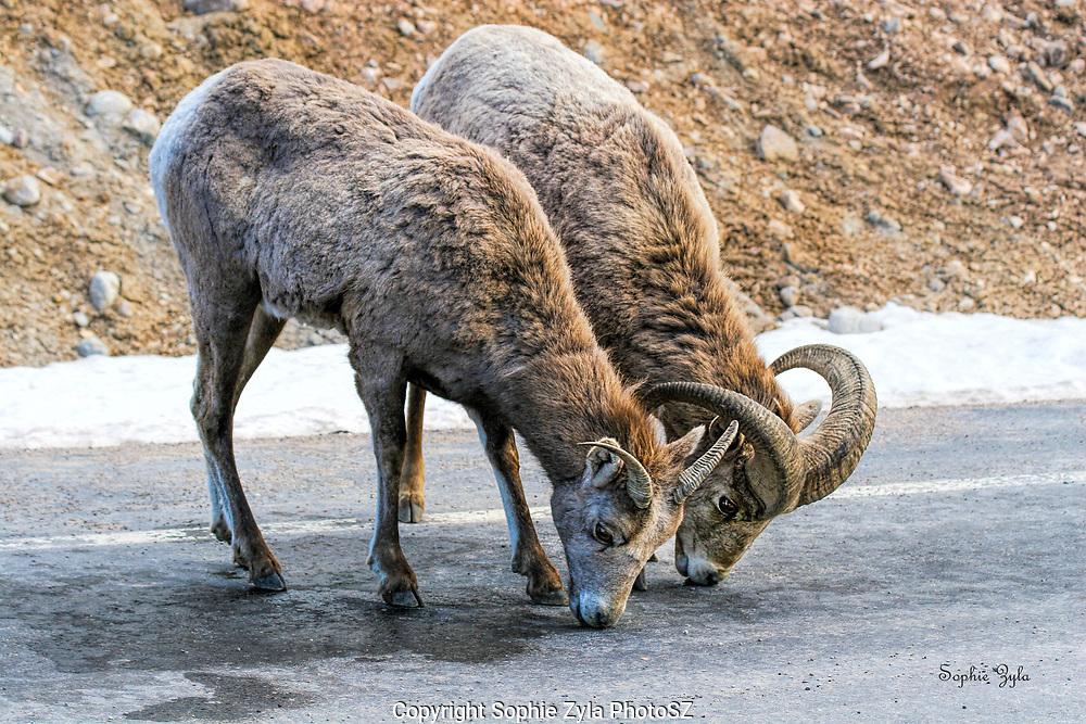 Bighorn Sheep pair at Sinks Canyon WY