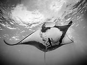 Giant Pacific Ocean Manta Ray