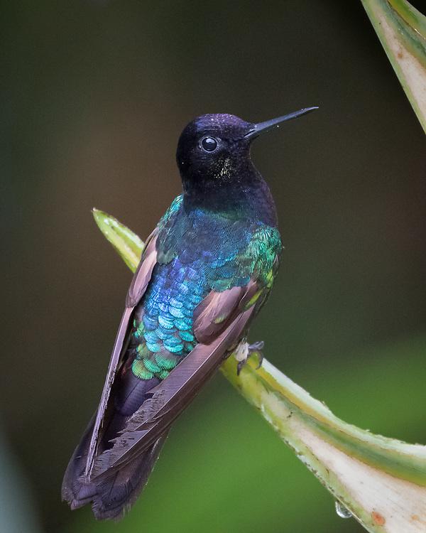Boissonneaua jardini, Ecuador