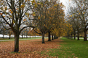 Fallen autumn leaves are pictured during collection by Crown Estate staff in Windsor Great Park on 3rd November 2020 in Windsor, United Kingdom. The UK has seen a spectacular display of autumn colours following spells of sunny weather during the spring and in September as well as sufficient rain during the summer.