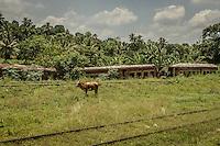 Sri Lanka. A cow surveils a broken down train