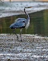 Great Blue Heron (Ardea herodias). Fort De Soto Park. Pinellas County, Florida. Image taken with a Nikon D3x camera and 300 mm f/2.8 VR lens.