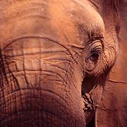 Smiling Elephant , Africa Zimbabwe