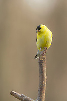 American Goldfinch Perched on a Stick