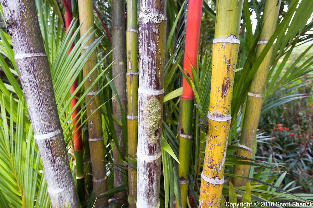 A horizontal image of red and green bamboo shoots.