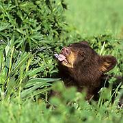 Black Bear, (Ursus americanus) Montana. Spring cub chewing on spring grasses. Spring. Captive Animal.
