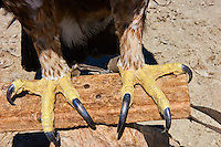 Mongolie, province de Bayan-Ulgii, région de l'ouest, aigle royal dans le massif de l'Altai // Mongolia, Bayan-Ulgii province, western Mongolia, Golden Eagle in the Altay range mountains