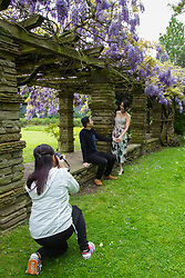 Bride-to-be Catherine Suen poses for engagement pictures with her fiancé Tommy Ho as Wisteria blooms at Wells Hall Pleasuance Gardens in Eltham, South East London.May 13 2018.