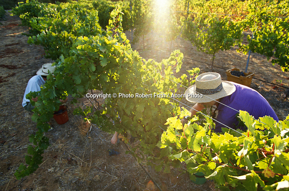 Two grape pickers in morning light