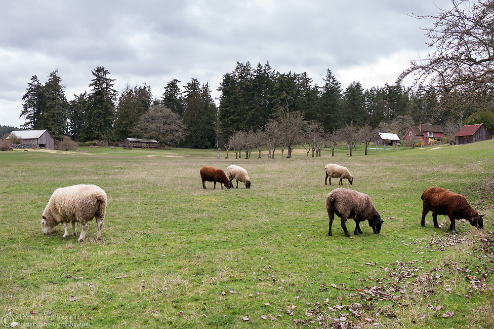 Sheep grazing in a field at Ruckle Farm.  Photographed in Ruckle Provincial Park on Salt Spring Island, British Columbia, Canada.  The farmhouse in the background was built by Daniel Henry Ruckle in 1907.