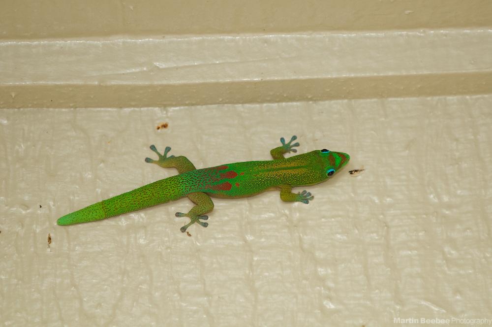Gold Dust Day Gecko (Phelsuma laticauda), found on the side of a Wailua condo, Kauai, Hawaii