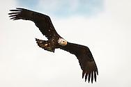 A Bald Eagle (Haliaeetus leucocephalus) (Halietus leucocephalus) soars  along Hood Canal in Puget Sound, Washington state, USA