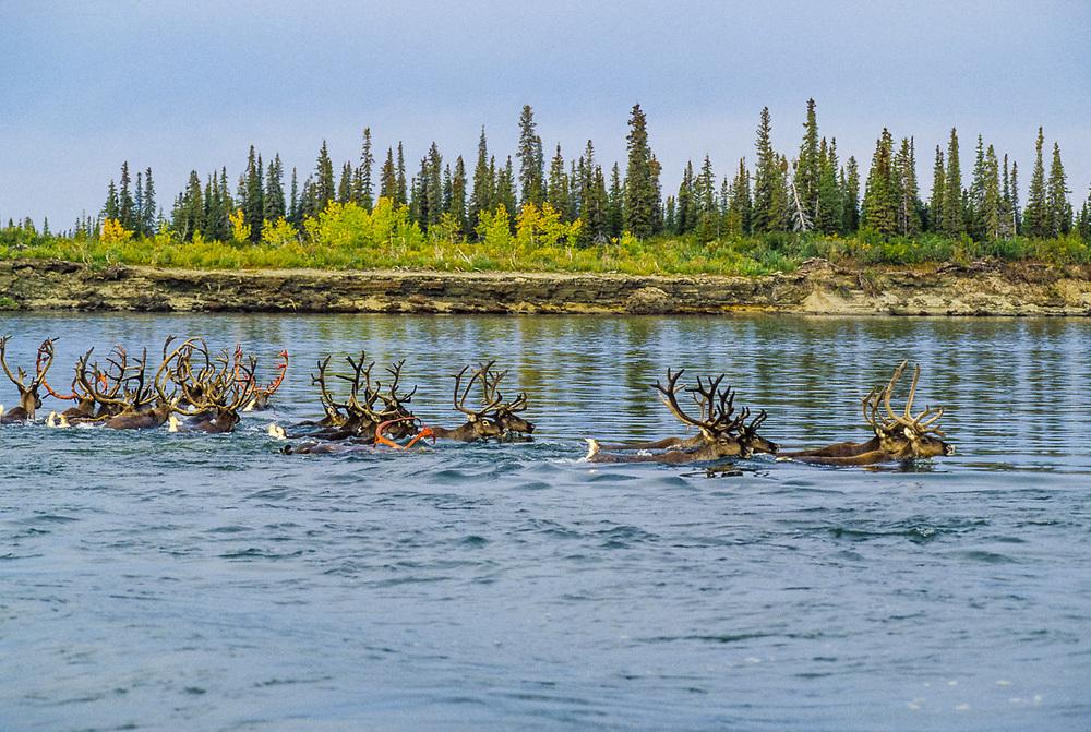 Caribou crossing the Kobuk River at Onion Portage, Kobuk Valley Natiinal Park, Alaska, USA