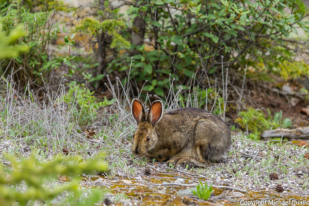 North America, Canada, Yukon Territory, Destruction Bay.  Arctic Hare (Lepus arcticus) in Brown Phase Browsing at Congdon Creek