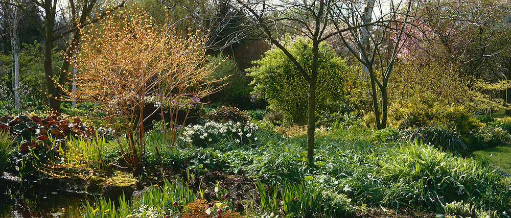 Spring border at Glen Chantry. Cornus sanguinea 'Midwinter Fire', daffodils and emerging foliage of perennials and ferns