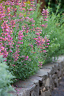 """Agastache """"Acapulco Pink and Orange"""" lines the beds adjacent to the vegetable garden"""