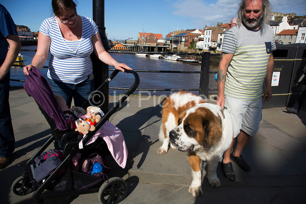 Whitby seems to have a particular affinity with dog owners, as at every turn there seems to be a different breed, including this magnificent Saint Bernard. Whitby is a seaside town, port in the county of North Yorkshire, originally the North Riding. Situated on the east coast at the mouth of the River Esk. Tourism started in Whitby during the Georgian period and developed. Its attraction as a tourist destination is enhanced by its proximity to the high ground of the North York Moors, its famous abbey, and by its association with the horror novel Dracula. Yorkshire, England, UK.