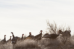 Wild turkeys silhouetted against sky, Ladder Ranch, west of Truth or Consequences, New Mexico, USA.