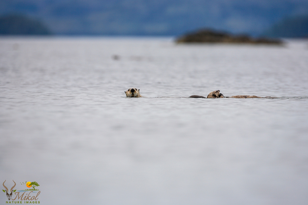 Sea otter swimming with pup