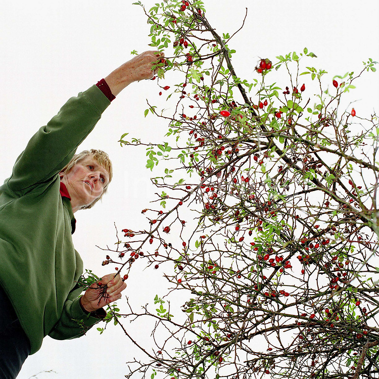 A conservation volunteer gathers rosehips from the hedgerows around the Castle Howard Estate in North Yorkshire, UK. The seeds will be planted and grown on at the Estate's arboretum and eventually planted out to make more trees and hedges in the Howardian Hills. Castle Howard Estate is in the Howardian Hills AONB, a landscape with well-wooded rolling countryside, patchwork of arable and pasture fields, scenic villages and historic country houses with classic parkland landscapes.