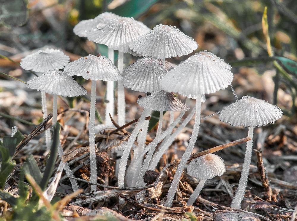 Jeweled Mushrooms