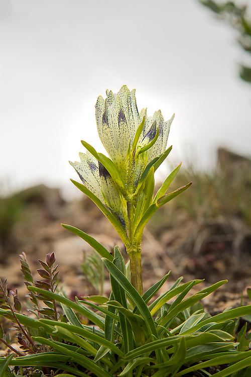 The arctic gentian, also known as the whitish gentian, is a very pale yellow to white perrenial found in high-altitude, wet alpine habitats in the Rocky Mountains, Alaska, the Yukon and parts of Eurasia. This one was found at about 12,ooo feet on the Continental Divide, just east of Aspen, Colorado.