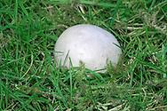 grey puffball<br /> Bovista plumbea