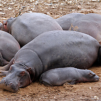 Africa, Kenya, Maasai Mara. Hippos resting on the banks of the Mara River.