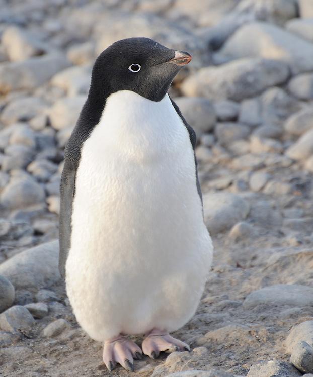 An Adélie penguin (Pygoscelis adeliae) on the beach at Paulet Island. Paulet Island, Antarctic Peninsula. Antarctica. 02Mar16