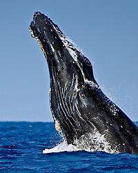 humpback whale, Megaptera novaeangliae, head-lunging breach, Hawaii, USA, Pacific Ocean