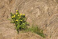 Dandelion, (Taraxacum officinale), Matsalu Bay nature reserve, Estonia