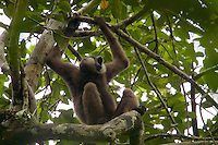 Bornean White-bearded Gibbon (Hylobates albibarbis) adult male calling.