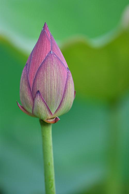 Indian, or Sacred Lotus flowers, Nelumbo nucifera, pink blooming flower in East Lake Greenway park, Wuhan, Hubei, China