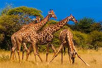 Herd of giraffes, Nxai Pan National Park, Botswana.