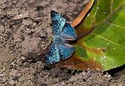 Lasaia agesilas from the Amazon, Mato Grosso, Brazil.