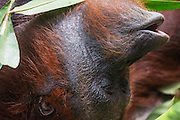 A close-up portrait of an orangutan face (Pongo pymaeus) laying upside down and vocalizing, Tanjung Puting National Park, Central Kalimantan, Borneo, Indonesia