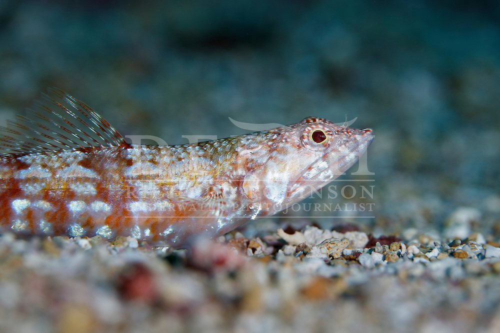 Synodus doaki (Red lizardfish).<br /> Sunday 04 September 2016<br /> Photograph Richard Robinson © 2016<br /> Dive Number: 790<br /> Site: Northern Arch, Poor Knights Island Marine Reserve,  New Zealand<br /> Dive Buddy: Ian Skipworth Greg van der Hulst<br /> Boat: Yukon<br /> Temperature: 15.5<br /> Rebreather : Inspiration Vision. Total Time On Unit: 392:01<br /> Maximum Depth: 18.8<br /> Bottom Time: 63 minutes<br /> Bottom Time to Date: : 44,751 minutes<br /> Cumulative Time: 44,814 minutes