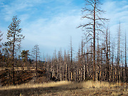 Trees burned in a forest fire stand bare along the Kendall Skyway in the Umatilla National Forest, Blue Mountains, WA, USA