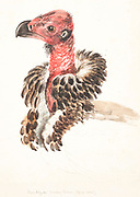 Portrait of the red-headed vulture (Sarcogyps calvus), also known as the Asian king vulture, Indian black vulture or Pondicherry vulture, is an Old World vulture mainly found in the Indian subcontinent, with small disjunct populations in some parts of Southeast Asia. 18th century watercolor painting by Elizabeth Gwillim. Lady Elizabeth Symonds Gwillim (21 April 1763 – 21 December 1807) was an artist married to Sir Henry Gwillim, Puisne Judge at the Madras high court until 1808. Lady Gwillim painted a series of about 200 watercolours of Indian birds. Produced about 20 years before John James Audubon, her work has been acclaimed for its accuracy and natural postures as they were drawn from observations of the birds in life. She also painted fishes and flowers. McGill University Library and Archives