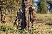 Two cheetah cubs (Acinonyx jubatus) climbing a tree while playing together in the morning,  Ndutu, Ngorongoro Conservation Area, Tanzania, Africa